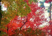 hojas de Japón en otoño