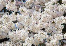 oler japón en primavera