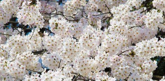 Viajar a Japón en primavera.