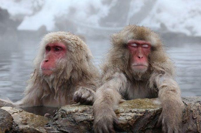 Japón en invierno. Macacos de Jigokudani