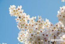 cerezos en flor 2018