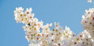 Cerezos en flor Japón 2019