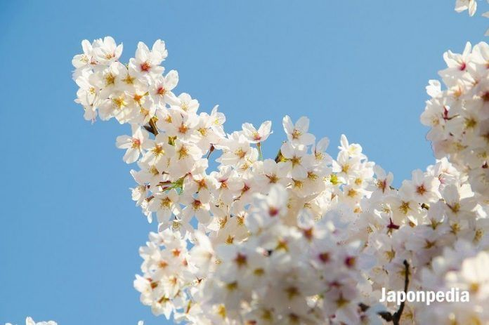 Cerezos en flor Japón 2020