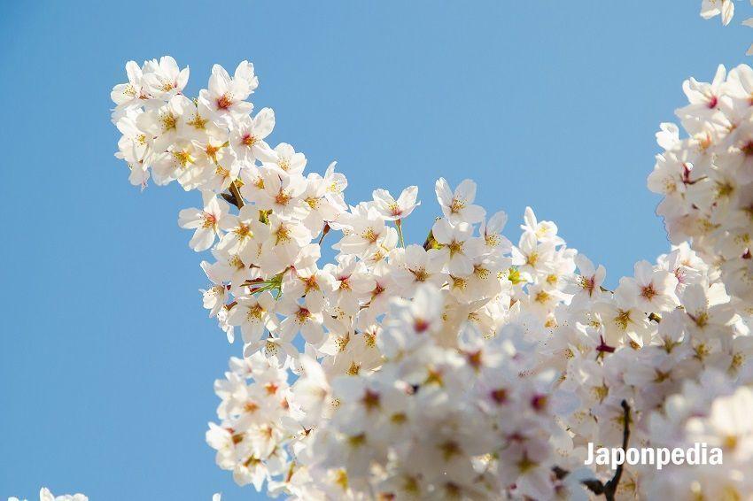 0991cfe6b3 Cerezos en Flor Japón 2020. Previsiones para Ver Sakura - Japonpedia
