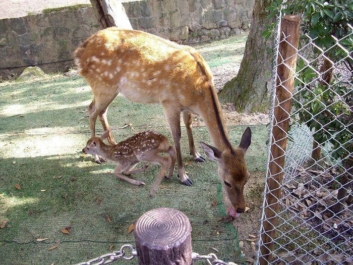 Templo Todaiji de Nara ciervos
