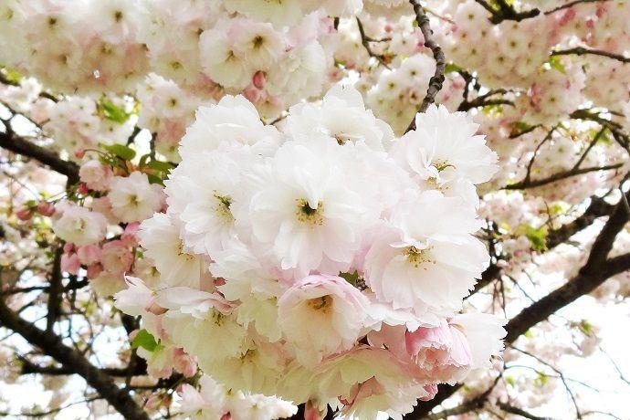 Previsiones para ver Sakura