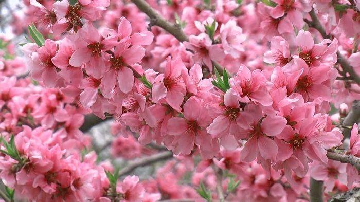 Hinamatsuri Flor del melocotón