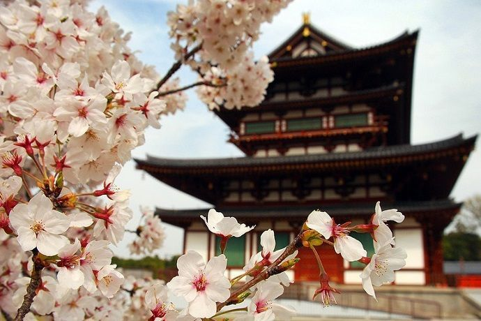 Cuando ver sakura