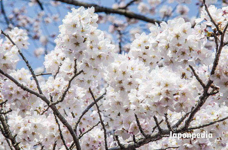 previsiones cerezos en flor Japón 2018