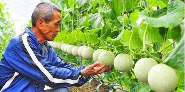 Curiosidades de Japón. Los melones más caros del mundo