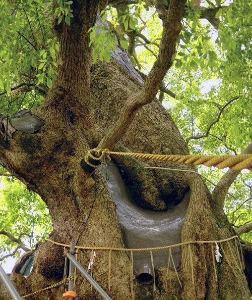 Árboles supervivientes del santuario de Sanno