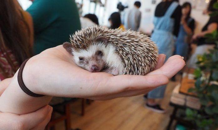 Reservar un café acompañado de erizos. Hedgehog Café