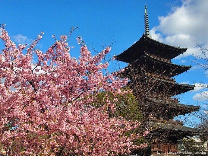 Floración de los ciruelos en marzo. Ume. Japón.