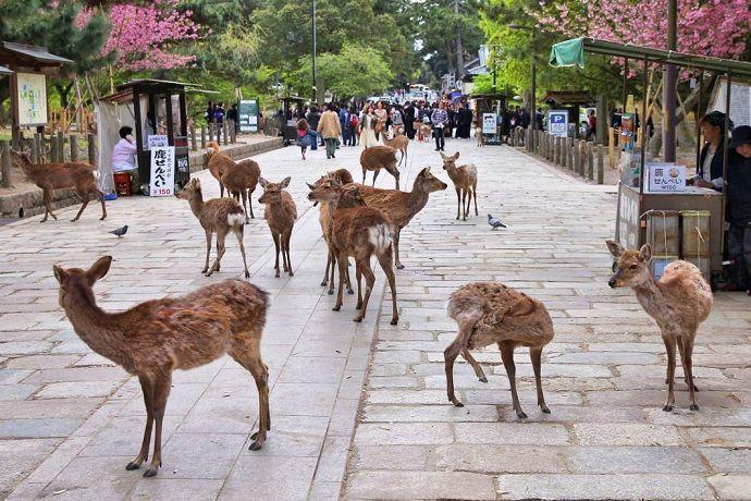 Ciervos de Nara. Excursión a Nara.