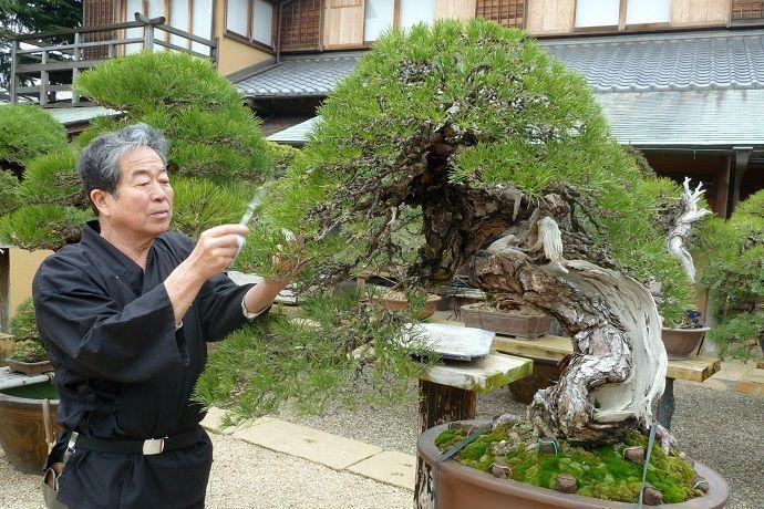 Bonsáis en Japón. Museos, parques y viveros.