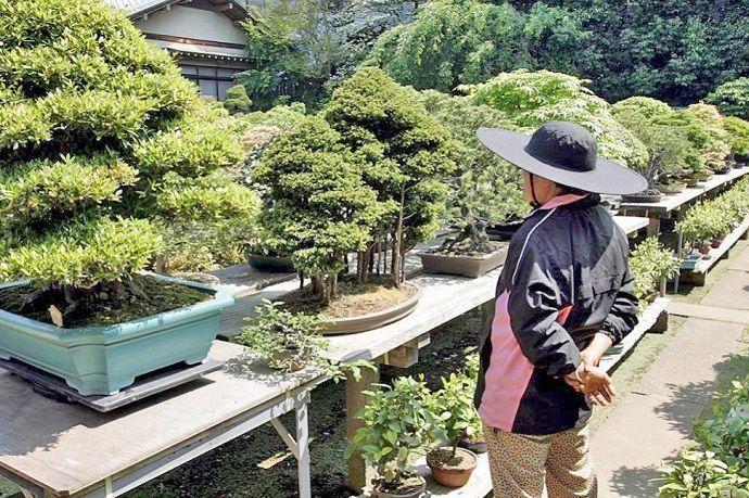 Bonsáis en Japón