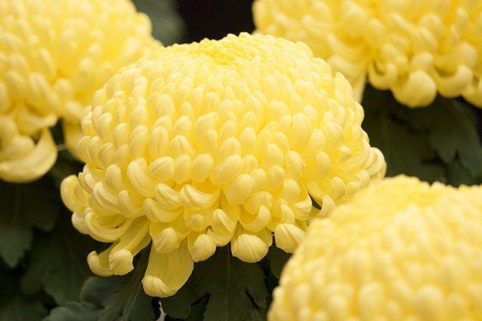 重陽の節句 Día de la flor del crisantemo septiembre