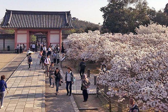 Jardín con sakura en Ninna-ji