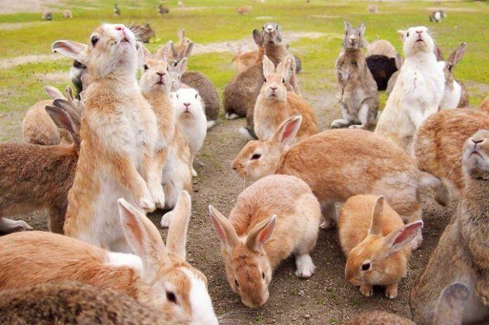 Isla de los conejos de Japón
