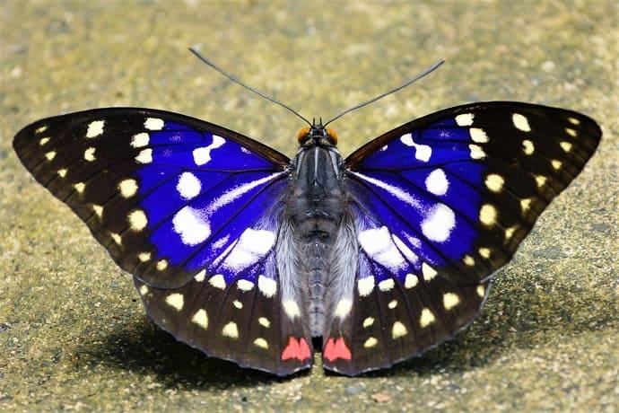 Mariposa símbolo de Japón