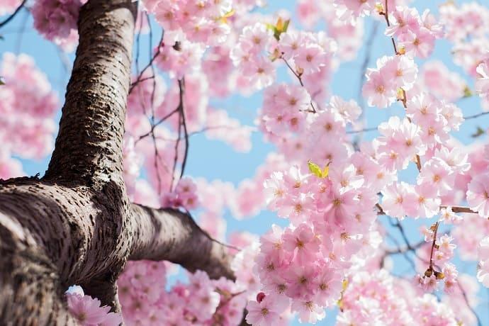 Símbolo de Japón Sakura
