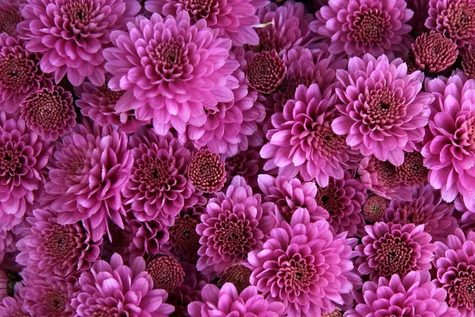 Símbolo de Japón crisantemo