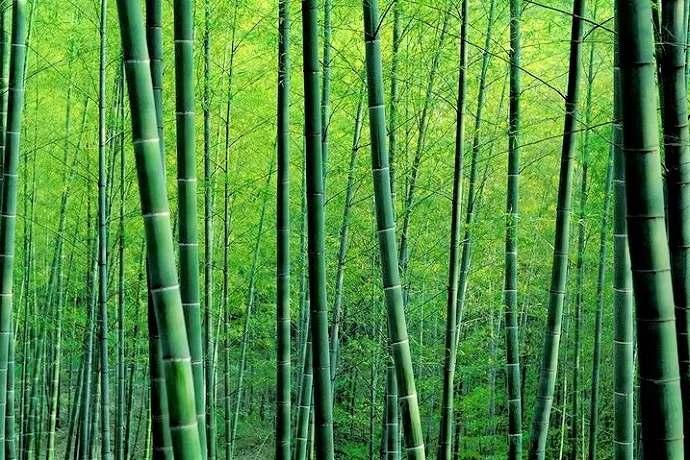 bambú en Tokio